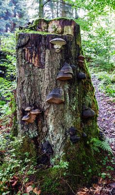 L'Amadouvier (Fomes fomentarius), est une espèce de champignons basidiomycètes de la famille des Polyporaceae.