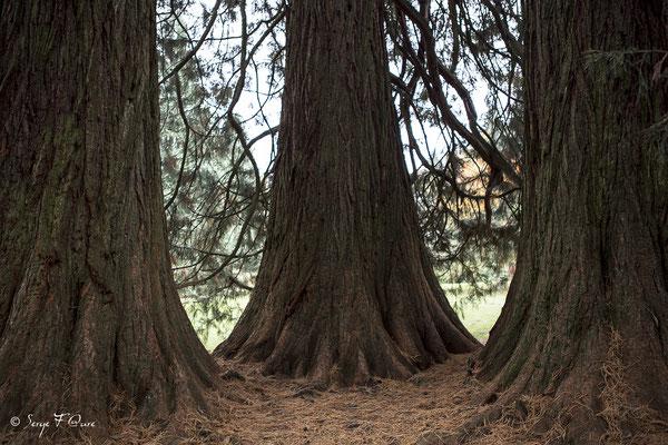 Séquoia dans le parc Fenestre à La Bourboule - Auvergne - France