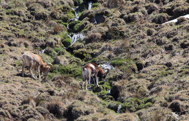 Mouflon mâle au pied du Sancy - Le Mont Dore - Auvergne - France (Avril 2013)