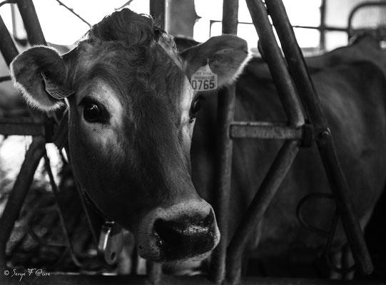 """""""Fée"""" Vache Aubrac à la ferme - Massif du Sancy - Auvergne - France"""