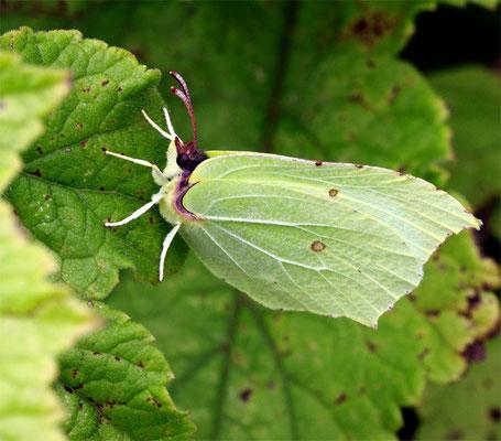 "Papillon (lépidoptère) ""Citron mâle"" (Gonepteryx rhamni)"