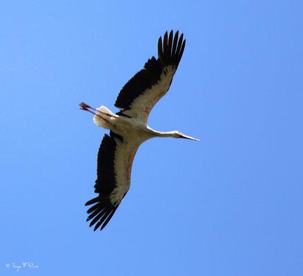 Cigogne blanche en vol (Ciconia ciconia - White Stork) - Parc ornithologique du Marquenterre - St Quentin en Tourmon - Baie de Somme - Picardie - France