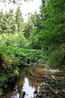 Rhubarbe géante (gunnère du Brésil)-Gunnera Manicata - Le Harz - Allemagne - (le véritable pays des sorcières