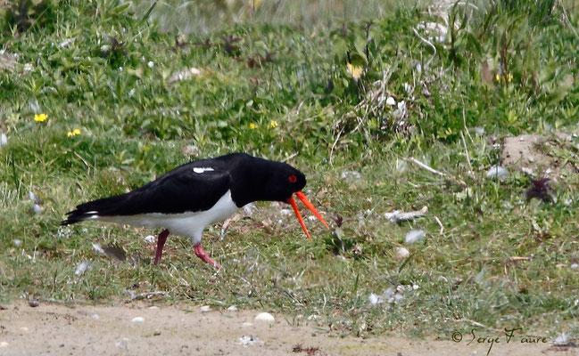 Huîtrier-pie (Haematopus ostralegus - Eurasian Oystercatcher) - Parc ornithologique du Marquenterre - St Quentin en Tourmon - Baie de Somme - Picardie - France