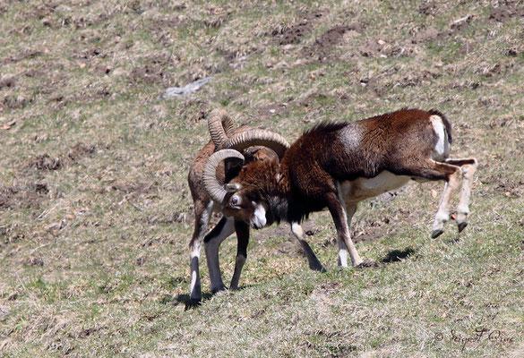 Combat de mouflons mâles au pied du Puy de Sancy - Le Mont Dore - Auvergne - France