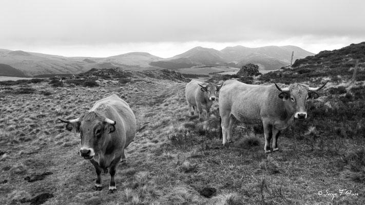 Vaches Aubrac - Le Puy Loup - Massif du Sancy - Auvergne - France