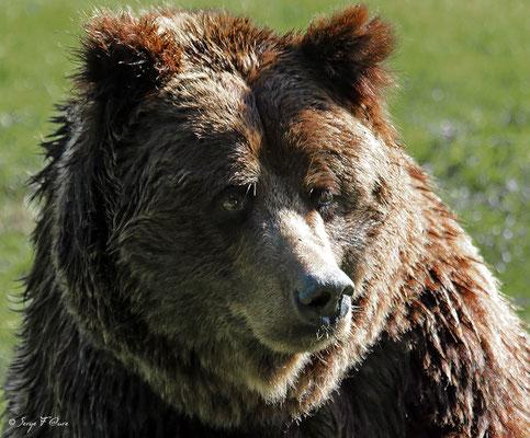 Ours brun (Ursus arctos)