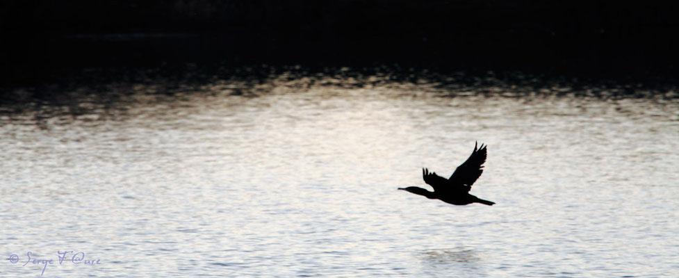 Vol du Cormoran au crépuscule - Décembre 2011