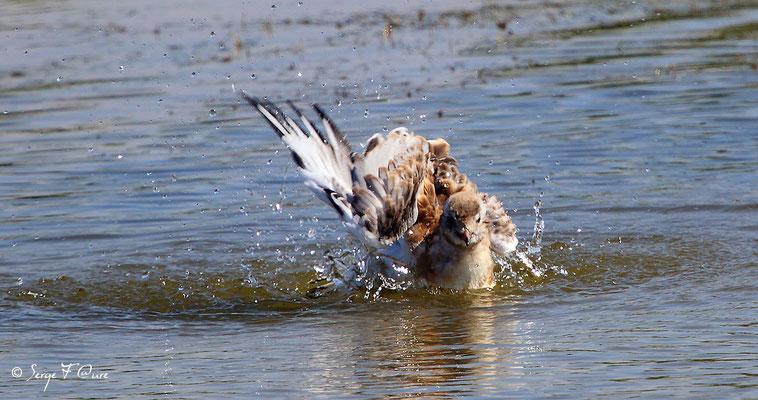 Mouette rieuse juvénile ( Chroicocephalus ridibundus - Black-headed Gull) - Parc ornithologique du Marquenterre - St Quentin en Tourmon - Baie de Somme - Picardie - France