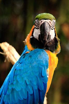 Ara bleu et jaune (Ara ararauna)