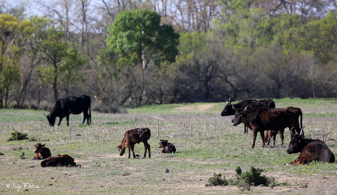 Vaches camarguaise et leurs veaux