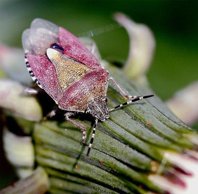 Punaise terrestre (Carpocoris pudicus)