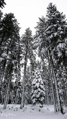 Epicéa enneigé (Picea abies)