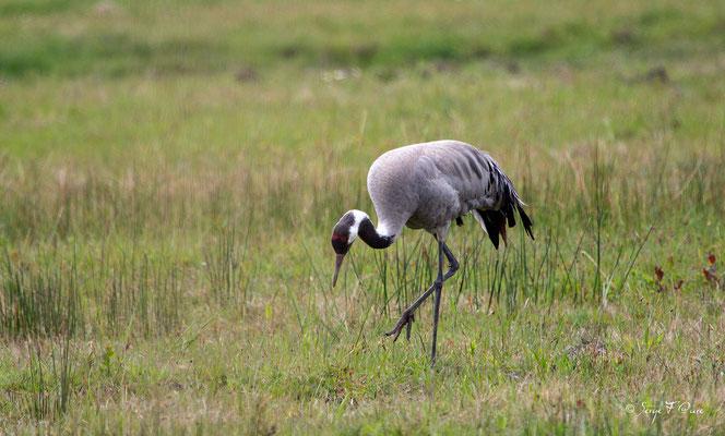 Grue cendrée (Grus grus) - Parc ornithologique du Marquenterre - St Quentin en Tourmon - Baie de Somme - Picardie - France