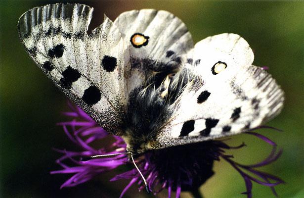 """Papillon (lépidoptère) """"Parnassius apollo - L'Apollon - Apollo"""""""