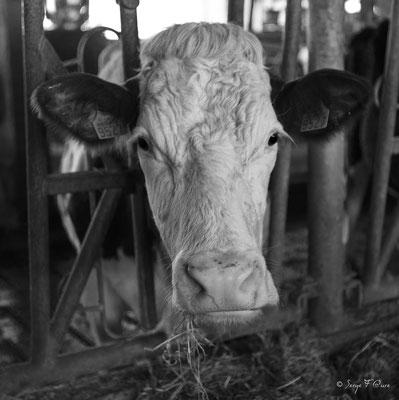 """""""Ecaille"""" Vache Montbéliarde à la ferme - Massif du Sancy - Auvergne - France"""