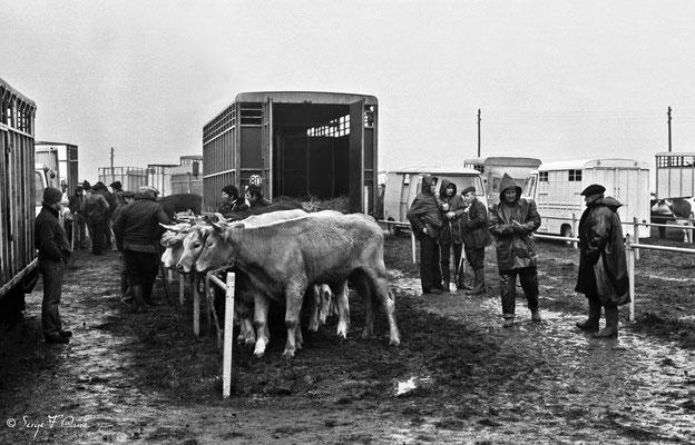 """""""Les vaches et l'homme"""" - Foire de Giat (1978) - Les Combrailles - Puy de Dôme - Auvergne - France"""