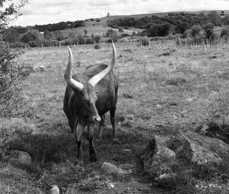 Vache M'bororo - Race bovine africaine
