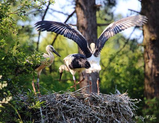 Cigognes blanches juvéniles (Ciconia ciconia - White Stork) - Parc ornithologique du Marquenterre - St Quentin en Tourmon - Baie de Somme - Picardie - France