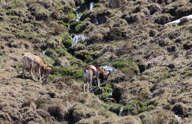 Mouflons mâles au pied du Puy de Sancy - Le Mont Dore - Auvergne - France