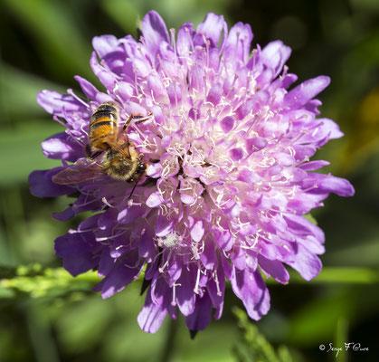 L' abeille (Anthophila) forment un clade d'insectes hyménoptères de la superfamille des Apoïdes