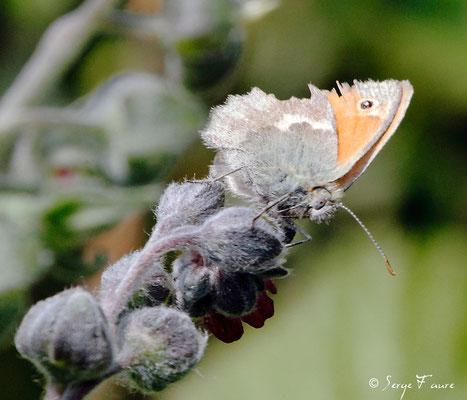 Le procris - Coenonympha pamphilus - Papillon sur Grande consoude (plante) - Parc ornithologique du Marquenterre - Baie de Somme - Picardie - France