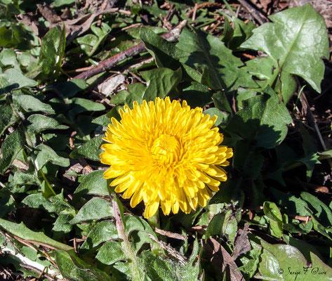 Pissenlit dent-de-lion (Taraxacum officinalis) - floraison avril