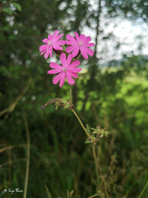 Compagnon rouge - (Silene dioica)