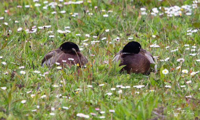 Cannes Col vert (Anas platyrhynchos - Mallard) - Parc ornithologique du Marquenterre - St Quentin en Tourmon - Baie de Somme - Picardie - France