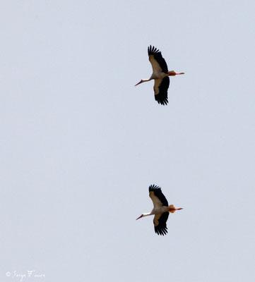 Cigognes blanches en vol (Ciconia ciconia - White Stork) - Parc ornithologique du Marquenterre - St Quentin en Tourmon - Baie de Somme - Picardie - France