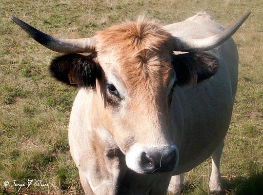 """Troupeau de vaches et de taureau (race Aubrac) en arrivant à """"Le Sauvage"""" (Chemin de Compostelle 2014)"""