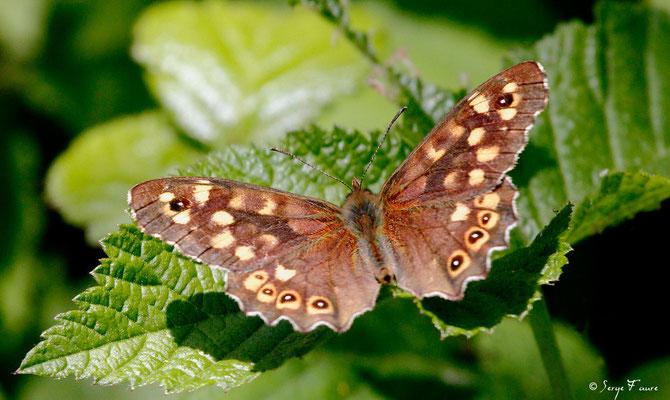 Le tircis - Pararge aegeria - Papillon (Parc ornithologique du Marquenterre) Baie de Somme - Picardie - France
