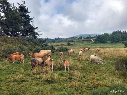 Troupeau de vaches et de taureau (race Aubrac) en allant vers Aumont-Aubrac - France - Sur le chemin de St Jacques de Compostelle (santiago de compostela) - Le Chemin du Puy ou Via Podiensis (variante par Rocamadour)