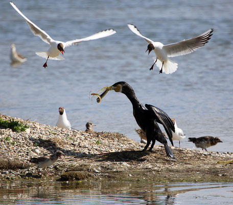 Grand Cormoran ayant pêché une anguille (Phalacrocorax carbo - Double-crested Cormorant) - Parc ornithologique du Marquenterre - St Quentin en Tourmon - Baie de Somme - Picardie - France
