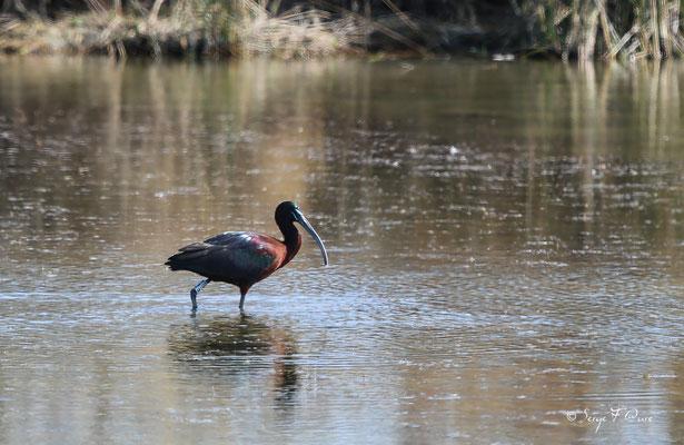 Ibis falcinelle (Plegadis falcinellus) - Réserve Naturelle Nationale de Camargue - Les Saintes Maries de la Mer - Camargue - Bouches du Rhône - France