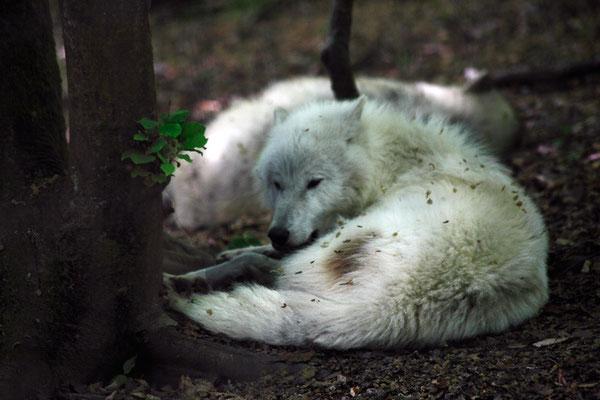Loup blanc (Canis lupus tundrarum)