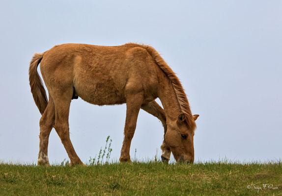 Poulain Henson (Equus caballus) - Parc ornithologique du Marquenterre - St Quentin en Tourmon - Baie de Somme - Picardie - France