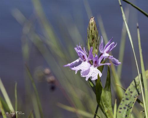 Orchis des marais (Anacamptis palustris), synonyme ancien: Orchis palustris Jacq., est une Orchidée terrestre européenne.
