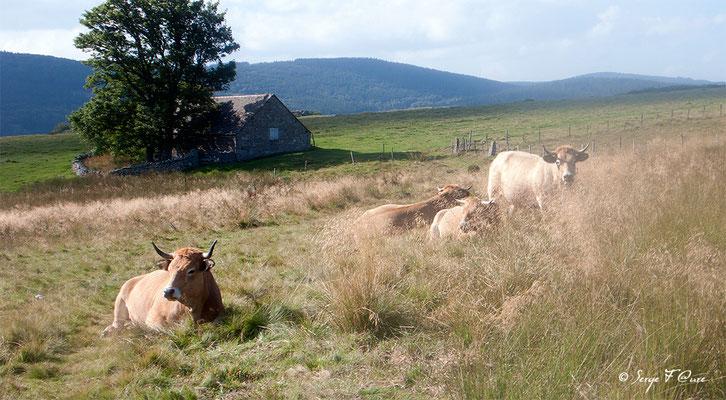 """Troupeau de vaches et de taureau (race Aubrac) en arrivant à """"Le Sauvage"""" - France - Sur le chemin de St Jacques de Compostelle (santiago de compostela) - Le Chemin du Puy ou Via Podiensis (variante par Rocamadour)"""