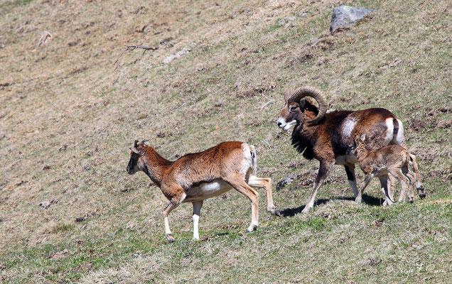 Mouflons (femelle, mâle et petit) au pied du Puy de Sancy - Le Mont Dore - Auvergne - France (Avril 2013)
