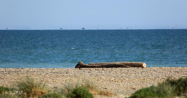 Tronc d'arbre en bois flotté - Les Saintes Maries de la Mer - Camargue - Bouches du Rhône - France