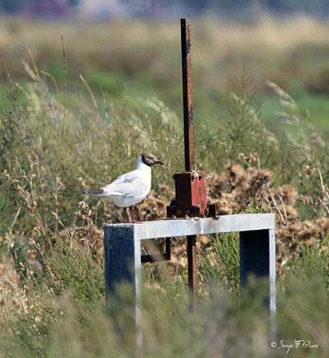 Mouette rieuse en plumage d'été (Larus ridibundus) - Anciens marais salants à la Sansouïre (Frontignan - Hérault - France)
