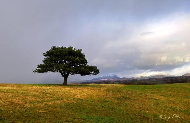 L'arbre solitaire au pied du Puy de Dôme - Auvergne - France