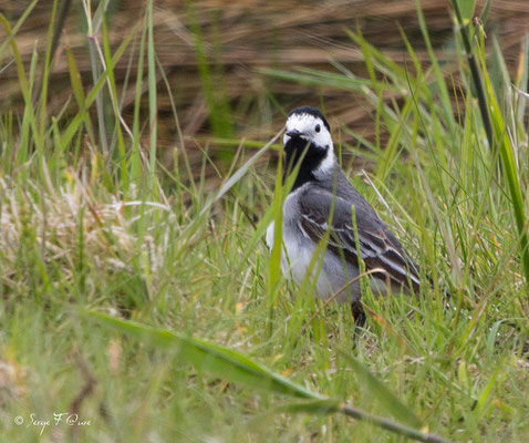 Bergeronnette grise ((Motacilla alba) - Parc ornithologique du Marquenterre - St Quentin en Tourmon - Baie de Somme - Picardie - France