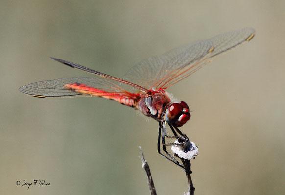 La libellule Sympétrum rouge sang ( Sympetrum sanguineum ) - mâle