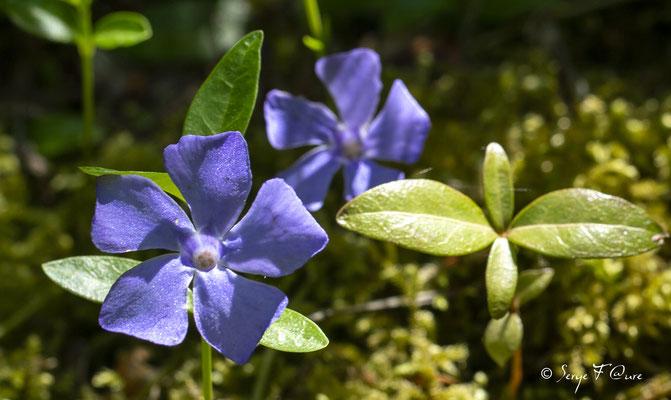 Petite Pervenche (Vinca minor) - floraison avril