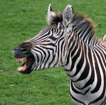 Zèbre de plaine (Equus burchelli)