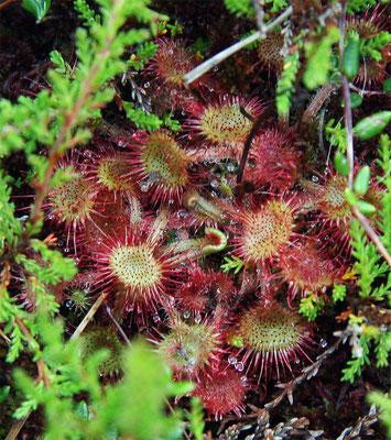Drosera (Plante carnivore)