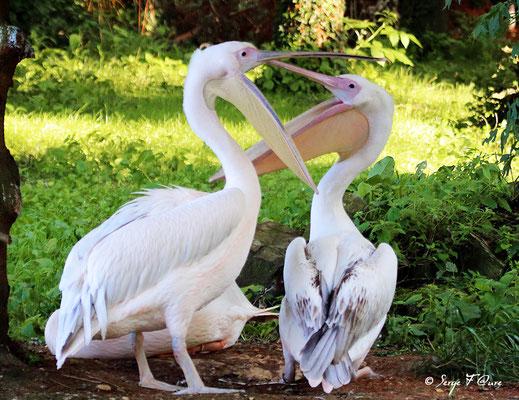 Pélicans (Pelecanus)