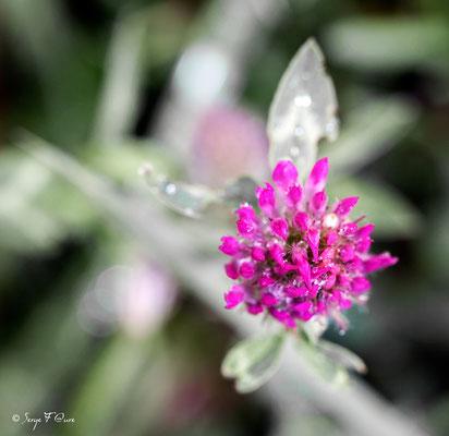 Trèfle des Alpes (Trifolium alpestre)